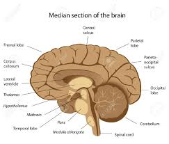 anatomy of the cerebellum image collections learn human anatomy