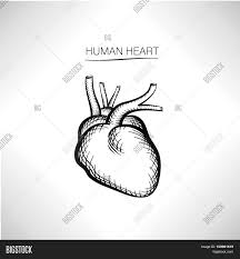 internal structure of human heart sketch sketch of structure of