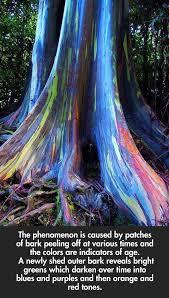 cool trees rainbow eucalyptus trees on maui hawaii the meta picture