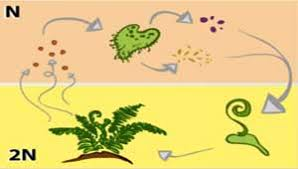 Life Cycle Of A Flowering Plant - a fern life cycle plant reproduction without flowers or seeds