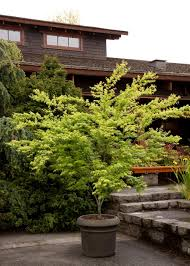 japanese maples planting growing and care tips hgtv