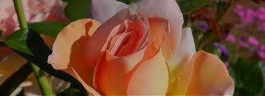 rose mary haggar rose garden dallas arboretum