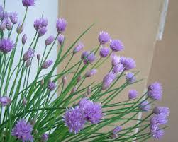 erba cipollina in vaso l erba cipollina come coltivarla anche in inverno inorto guida