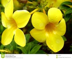 yellow color flower stock photo image 1095230