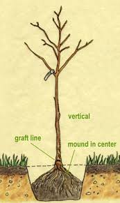 Transplant Fruit Trees - fruit trees eartheasy com solutions for sustainable living