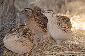 Backyard Quail Pens And Quail Housing by Raising Common Japanese Coturnix Quail General Outline