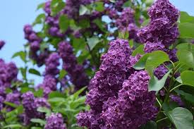 Top Flowering Shrubs - top flowering shrubs for year round blooms page 2 of 2 garden