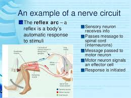 How Does A Reflex Arc Work In A Nervous System The Nervous System For Adv Biology Freshment