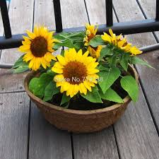 four seasons broadcast viewing balcony pots of dwarf sunflower