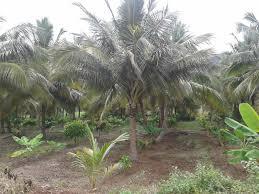 cocoa tree plantation theobroma cacao innovative farming solutions