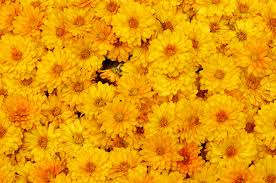 images yellow mums flowers many