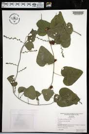 cocculus carolinus species page apa alabama plant atlas