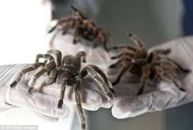 the creepy crawly farm that grows 5 000 giant spiders as big as a