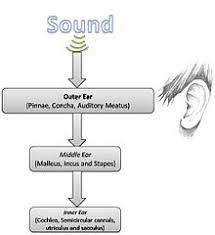 Basic Anatomy Of The Ear Neuronal Encoding Of Sound Wikipedia