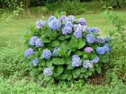 Low Maintenance Plants And Flowers - my favorite shrubs u0026 bushes for the philadelphia area newtown