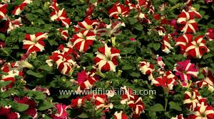 petunia flowers petunia flowers at blossom at house of the president of india