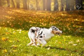 australian shepherd yellow young merle australian shepherd running in autumn stock photo