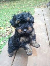 how to cut a yorkie poo s hair 8 best dog haircuts images on pinterest baby puppies fluffy