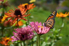 how illinois plans to help save the monarch butterfly csmonitor com