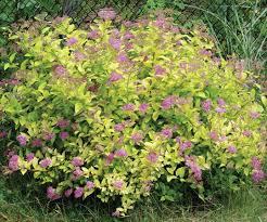shrub plant britannica