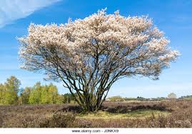 Trees With White Flowers Serviceberry Tree Stock Photos U0026 Serviceberry Tree Stock Images