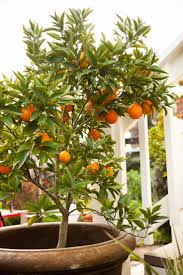 Patio Fruit Trees Uk by 25 Best Orange Trees Ideas On Pinterest Orange Grove Blossom