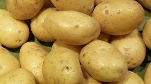 pomme de terre en chambre semences pommes de terre plants pomme de terre garrigues frères