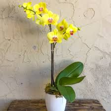 yellow orchid yellow phalaenopsis orchid in ceramic jungle