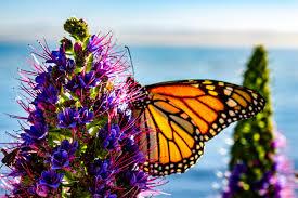 monarch butterflies archives archive