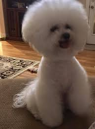 bichon frise 17 years old oliver the world famous bichon frise home facebook