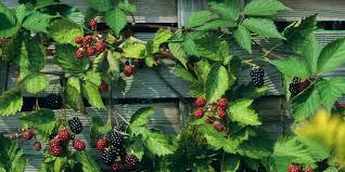 five ways with bountiful berries monrovia