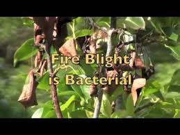 blight in pear trees treatment