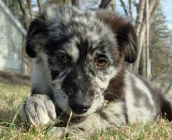 running with australian shepherd puppy my future running buddy when i grow up and can take care of this
