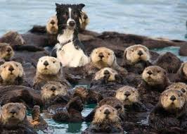 Sea Otter Meme - i has a hotdog sea otter funny dog pictures dog memes puppy