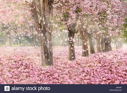 trees with pink flowers falling petal the tunnel of pink flower trees stock