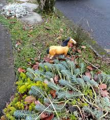 danger garden the aeoniums a follow up