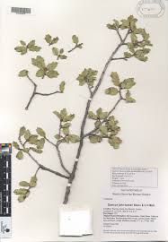 quercus taxonomy oaks of the americas