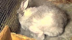 my pregnant bunny rabbit giving birth youtube
