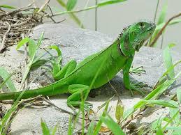 imágenes de iguanas verdes iguana común iguana verde wikipets