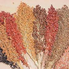 purple majesty hybrid ornamental millet jung garden and flower