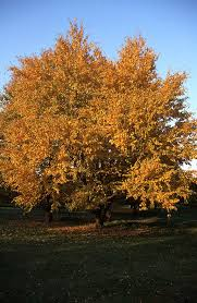 top ten trees and shrubs with great fall color the garden