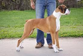 boxer dog female beautiful akc female boxer dog breed in nebraska blue chip boxers