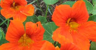 orange nasturtiums go you lovely orange things they may be