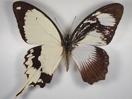 heliconius homepage asymmetric butterflies