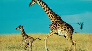 how long does a baby giraffe stay with its mother reference com