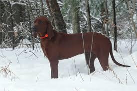 bluetick coonhound rescue georgia copeland redbone hounds rebonehounds www copelandredbones com
