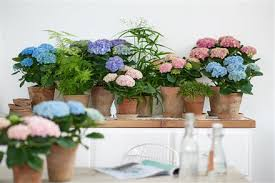 mothers day plants plants to supply magical hydrangeas in the uk to service