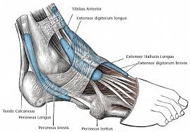 Anterior Distal Tibiofibular Ligament Ankle Sprain Symptoms Diagnosis Treatment