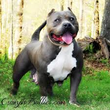 american pitbull terrier for sale in ohio newage pitbulls xtreme xl xxl gottiline blue nose bully pitbull