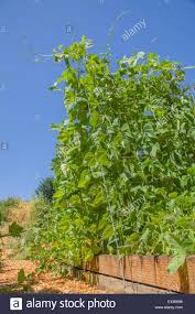 bean trellis stock photos u0026 bean trellis stock images alamy